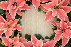 Poinsettia Flower Border Royalty Free Stock Image