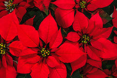 Poinsettia flower. Bright red poinsettia christmas flower horizontal background royalty free stock image