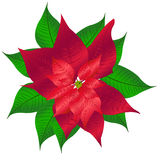 Poinsettia. 