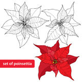Poinsettia flower or Christmas Star with round frame in gold on the textured background. Traditional Christmas symbol. Royalty Free Stock Photography
