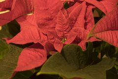 Poinsettia flower close up royalty free stock images