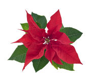 Poinsettia flower closeup cutout royalty free stock photography