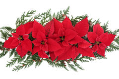 Poinsettia Flower Display Stock Image