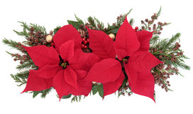 Poinsettia Flower Display. With holly, winter greenery and gold bauble decorations over white background Stock Photos