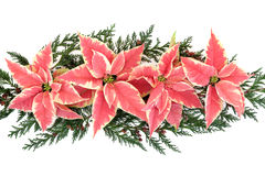 Poinsettia Flower Display Royalty Free Stock Photography