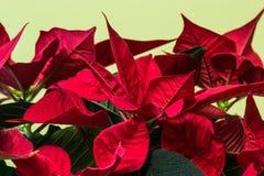 Poinsettia flower flourish indoor macro. Euphorbia pulcherrima Royalty Free Stock Image