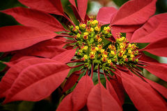 Poinsettia. Flower from Madagascar royalty free stock photo