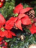 Poinsettia flower. Plant bright red color Christmas holiday decoration royalty free stock images