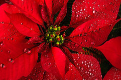 Poinsettia flower. Red poinsettia christmas flower with dew stock image