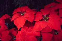 Poinsettia flower red Christmas flower decoration happy festival beautiful background royalty free stock images