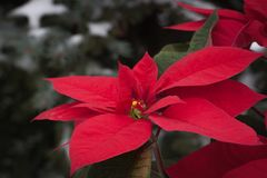 Poinsettia flower  with the snowy Christmas tree background Stock Image
