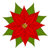 Poinsettia flower Royalty Free Stock Images
