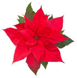 Poinsettia flower on white - top view Royalty Free Stock Image