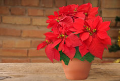 Poinsettia in flowerpot Royalty Free Stock Photo