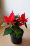 Poinsettia Royalty Free Stock Photos