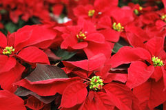 Poinsettia flowers. Plants typical of Christmas stock photography