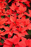Poinsettia flowers background Royalty Free Stock Photos
