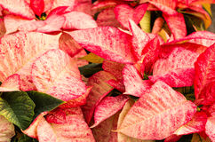 Poinsettia flowers with bright bracts. Poinsettia flowers in bloom with bright bracts royalty free stock images