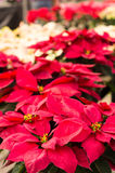 Poinsettia flowers with bright bracts Royalty Free Stock Images