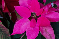 Poinsettia flowers or christmas star. Pink poinsettia flower or christmas star close up royalty free stock photos