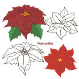 Poinsettia flowers. contours of flowers. Royalty Free Stock Images