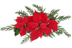 Poinsettia Flowers Royalty Free Stock Image