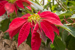Poinsettia flowers the symbol of Christmas Royalty Free Stock Photo