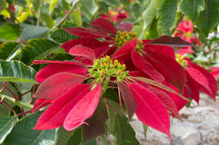 Poinsettia flowers the symbol of Christmas Stock Photography