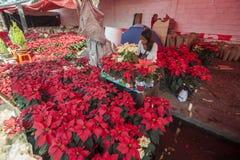 Poinsettia flowers Royalty Free Stock Photos