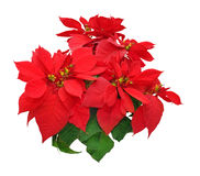 Poinsettia flowers Stock Images