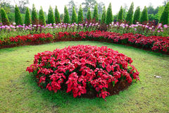 Poinsettia in garden Royalty Free Stock Photography
