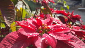 The poinsettia at the gates. After a rain,spring was coming. The poinsettia at the gates was bloomed Stock Photos