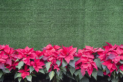 Poinsettia - Christmas Background. Green backround with poinsettia royalty free stock images