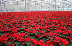 Poinsettia in greenhouse. Euphorbia pulcherrima (Poinsettia) are popular Christmas decorations in homes, offices, and elsewhere across North America stock photo