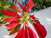 Poinsettia grows in the front yard stock image