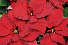 Poinsettia, Hochblätter und Blumen Lizenzfreie Stockbilder