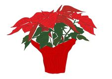 Poinsettia. An illustration of a poinsettia plant in full bloom wrapped in red paper Stock Photography