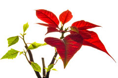 Poinsettia isolated. Christmas flower poinsettia isolated on white background royalty free stock photography