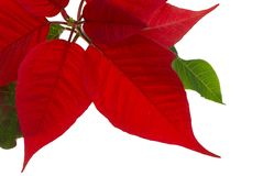 Poinsettia isolated. Poinsettia leaves closeup isolated on pure white stock photos