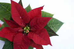 Poinsettia Isolated Royalty Free Stock Photo