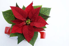 Poinsettia Isolated Stock Photography