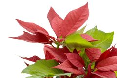 Poinsettia isolated on white. Stock Images