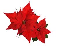 Poinsettia isolated on white Stock Image