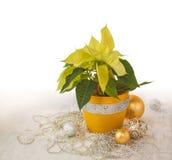 Poinsettia jaune (pulcherrima d'euphorbe) images libres de droits