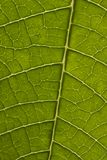 Poinsettia leaf closeup. Closeup shot of a poinsettia leaf Royalty Free Stock Images