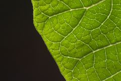 Poinsettia leaf closeup. A poinsettia leaf closeup with black background Stock Photography