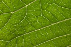 Poinsettia leaf closeup. A green poinsettia leaf closeup showing details Royalty Free Stock Photos