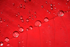Poinsettia leaf  with water drops Stock Photography