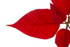 Poinsettia leaf on white Stock Image