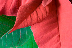 Poinsettia Leaves. As a red and green background Stock Image